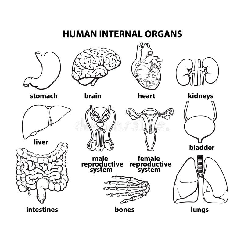 Functions of liver in human body pdf